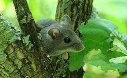 small rodent hiding on tree branch