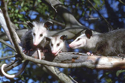 3 possums on a tree branch