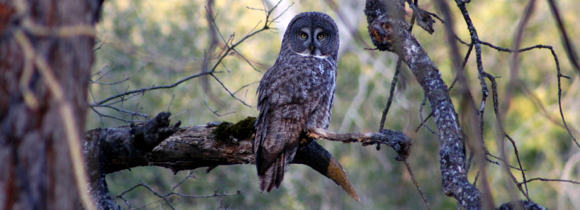 Gray owl in tree branch