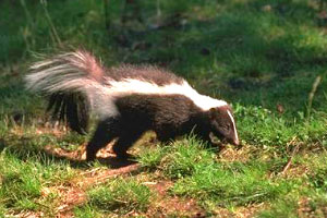 skunk on grass and dirt