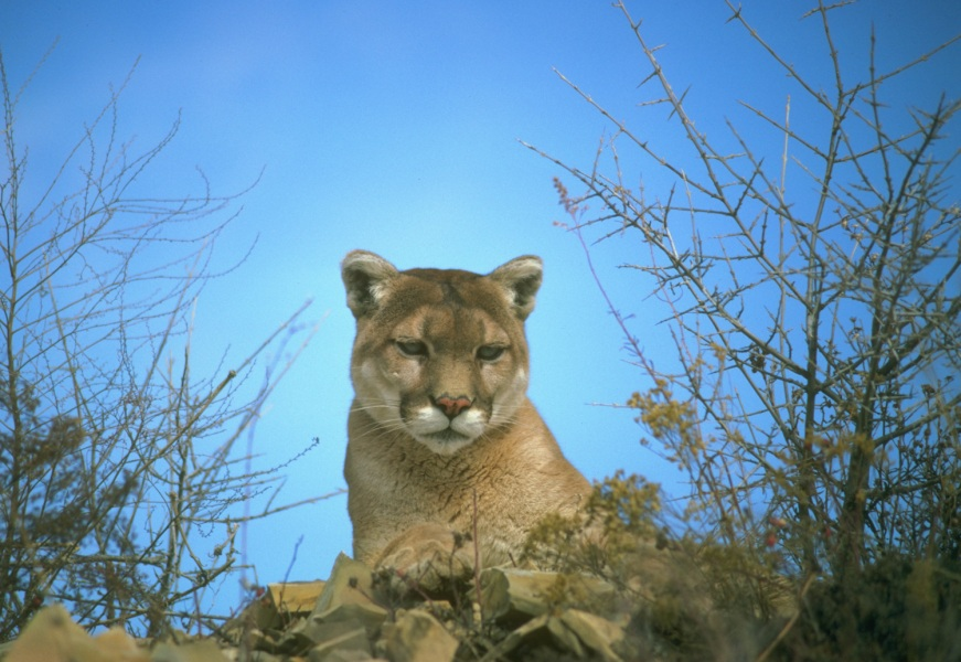 Mountain Lions in California