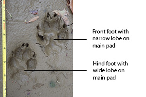 coyote track in mud
