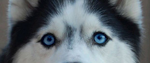 blue dog eyes
