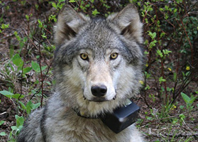 head of gray wolf