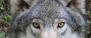 slanted, yellow wolf eyes