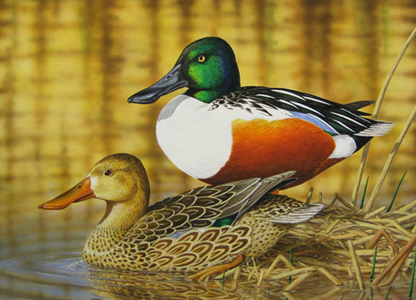 California Duck Stamp Art From 1971