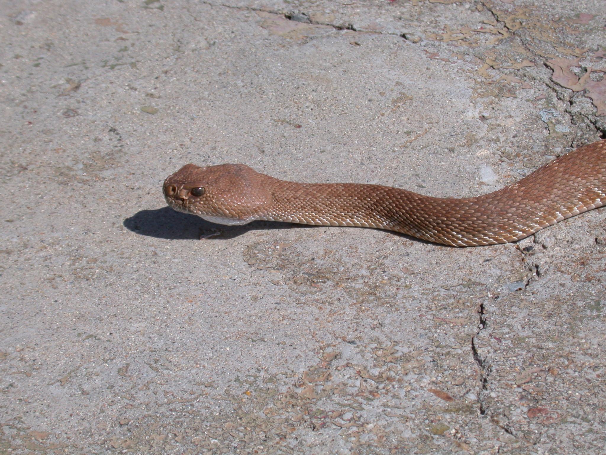 78dfeebf969 Rattlesnakes in California