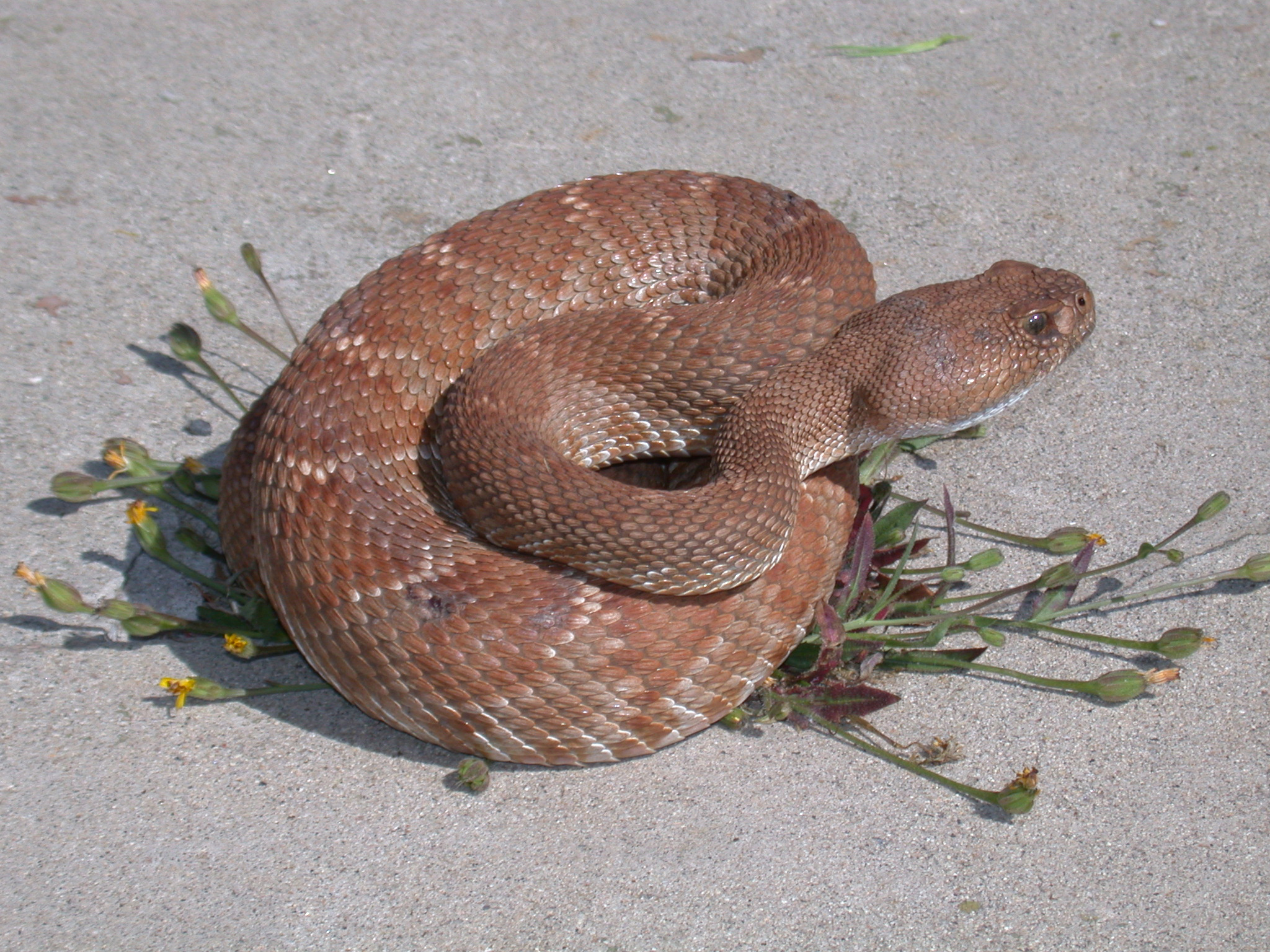 identify rattlesnake