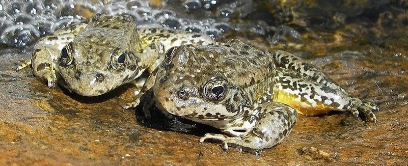 2 frogs on the edge of a stream