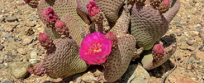 cactus with bright pink flowers