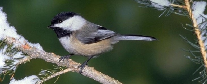 a small black white and tan songbird