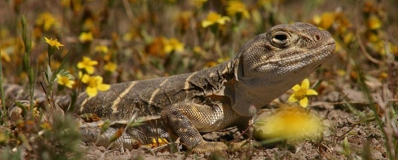large brown lizard with yellow flowers
