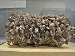 Image of quagga mussels found in Lake Mead