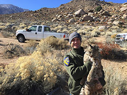 Scientist, Aaron Johnson, holding a sedated bobcat survey to secure a GPS collar