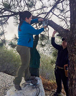 Three scientist attaching a trail camera to a tree branch for sheep survey - click to enlarge in new window