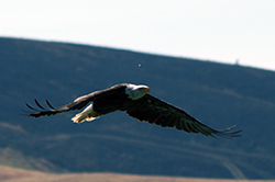 balk eagle in flight, wings nearly horizontal