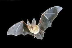 a bat with enormous ears and teeth showing, in flight