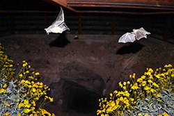 At night, two bats fly low over yellow flowers