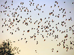 hundreds of bats fly overhead at sunset