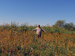 A man stands hip-deep in a field of orange safflowers and sunflowers, tall grasses, under a blue sky