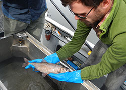 Scientist, Ben Ewing holding a silver colored fish over a boat