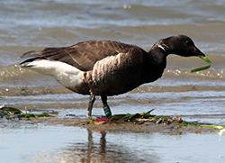 A black brant, similar to a dark-colored goose, feeds on eelgrass in a sandy bay shoreline.
