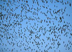 Hundreds of dark-colored birds fly together in a bright blue sky