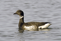A goose-like seabird with a black beak, dark hood, neck and coat, and white underside floats on bay water