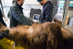 Two veterinarians look at an ultrasound image, behind an anesthetized bear lying on her back.