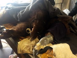 An anesthetized adult bear lies on her side, on a veterinary table, with eight acupuncture needles stuck in her legs, shoulder, paws and snout