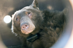 A sad-looking bear looks up from an artificial enclosure