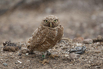Saving the Burrowing Owls