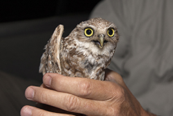 Burrowing Owl in hand
