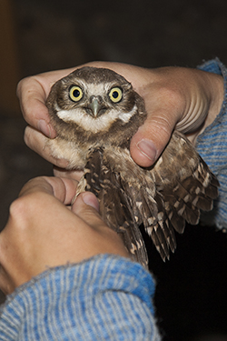 Burrowing Owl being held while one hand slightly extends owl's wing