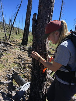 A young woman attaches a trail camera to a dead tree trunk.