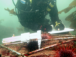 Diver underwater in black diving suite taking notes surrounded by kelp and sea urchins. White calipers in us, gripping a sea urchin