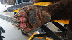 bottom of a bear paw that is burned from wildfires