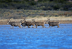 Five deer wade knee-deep in blue lake water