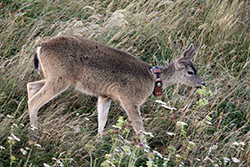 doe on a hillside wears a research collar