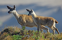 Doe and fawn look out from a dry-grassy ridge
