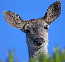 cute face of a mule deer