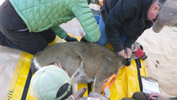 Three people check and attach a collar to a doe