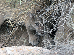 A mountain lion crouches, well camouflaged by boulders and sandy soil under dead branches