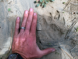 a man's hand laid flaat on sandy soil, next to a mountain lion track