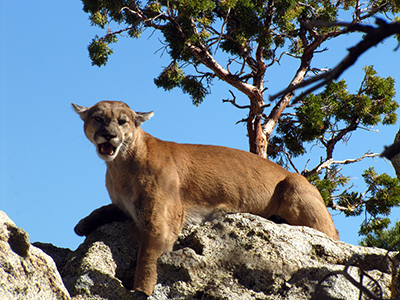 A gold-colored mountain lion snarls from its perch on a rocky hillside, under a clear blue sky