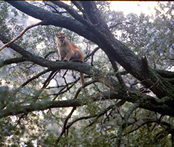 A golden-coated mountain lion sits high on a large limb of an oak tree