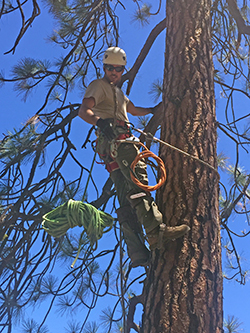 Man wearing a hard hat and climbing gear, working his way up a tall pine tree, under a royal blue sky