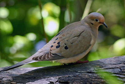 CDFW Dove Banding Program Seeks Volunteers