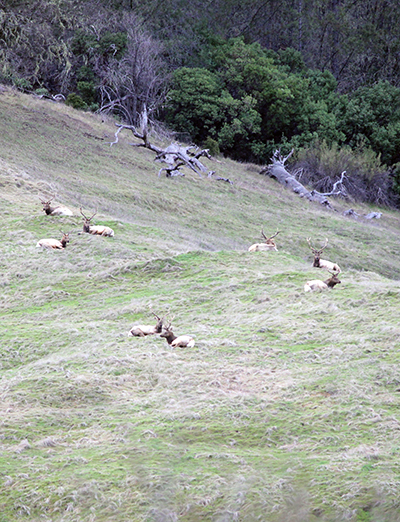 CDFW Captures Tule Elk in Phase One of Multi-Year Study in Colusa and Lake Counties