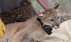 scientist sedated a mountain lion to add a tracking collar